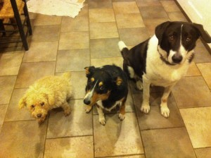 three-dogs-await-dinner