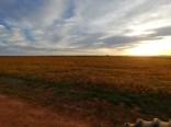 Soybeans at dawn