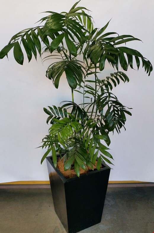 Bamboo Palm(Chamaedorea Seifrizii) Indoor Plant With Fiberglass Planter Box