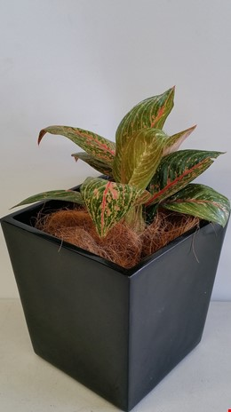 Red Chinese Evergreen(Aglaonema) Desk/Bench Top Indoor Plant With Fiberglass Planter Box