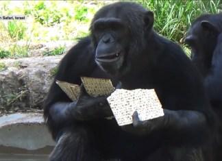 Auch Affen essen Matzebrote. Foto Screenshot Youtube