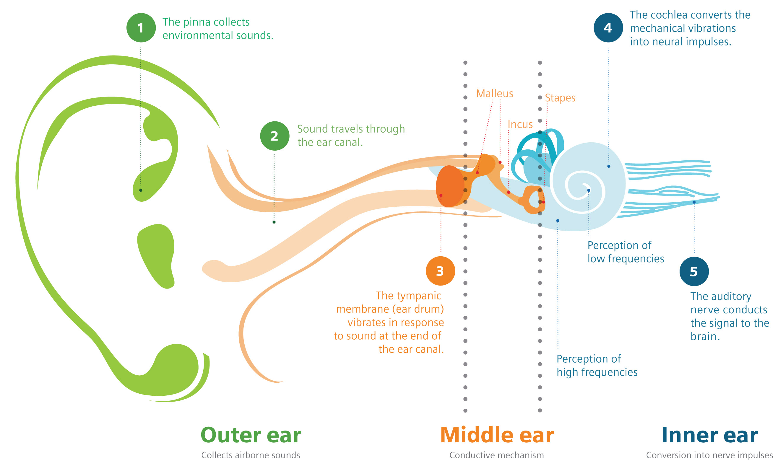 outter ear diagram labeled human 4 way street about hearing loss