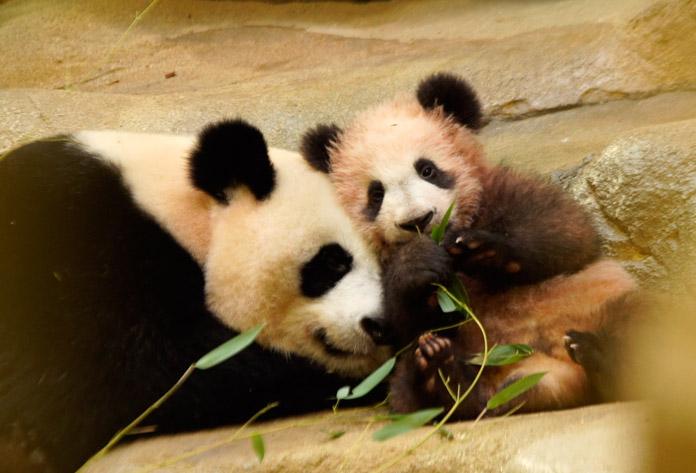 petit panda odisea