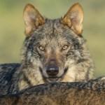 Finaliza el rodaje de 'Barbacana, la huella del lobo', segundo documental de Arturo Menor