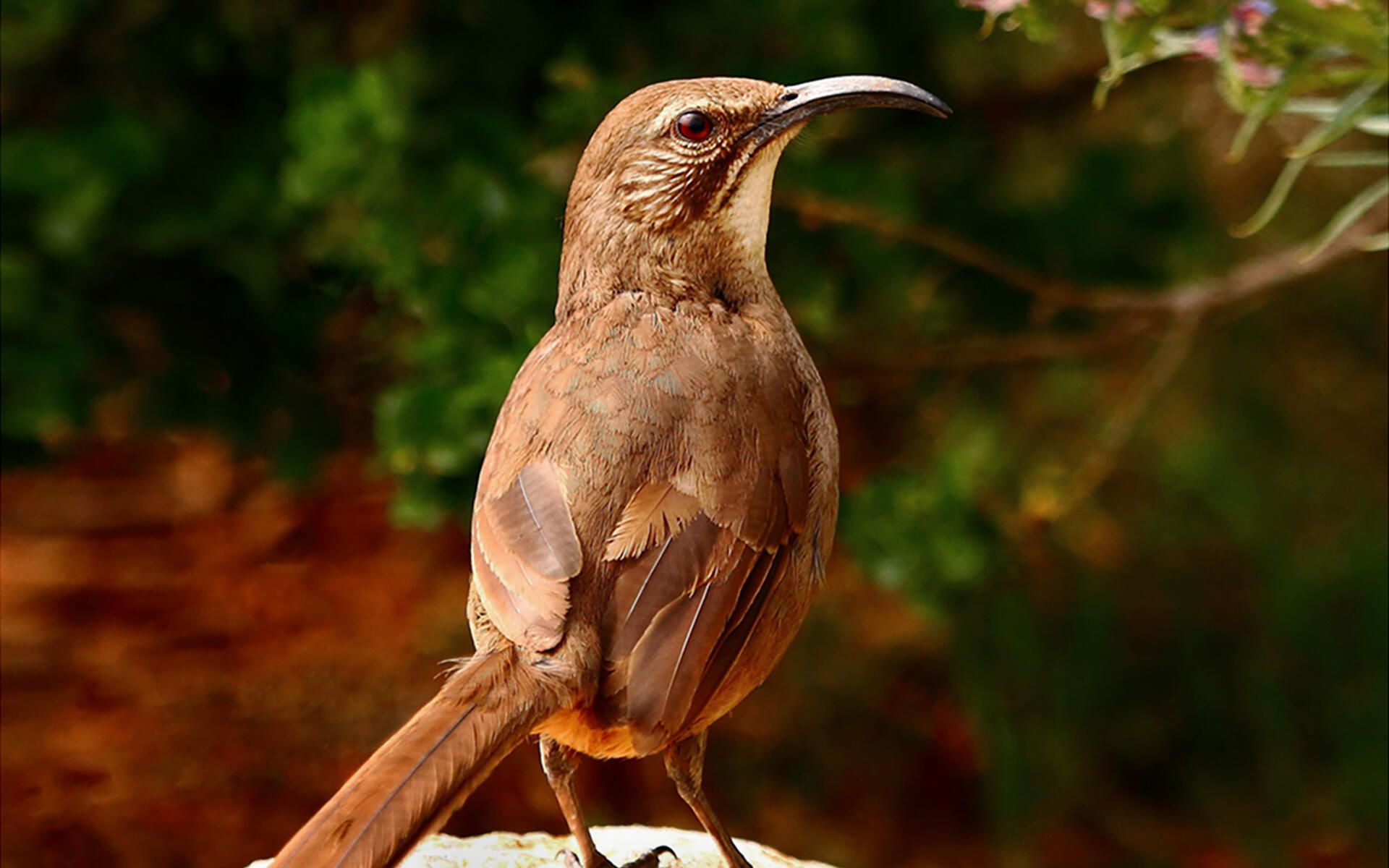 california thrasher audubon field