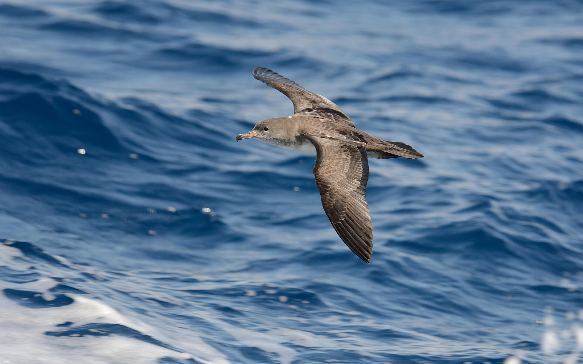 Pink-footed Shearwater | Audubon Field Guide