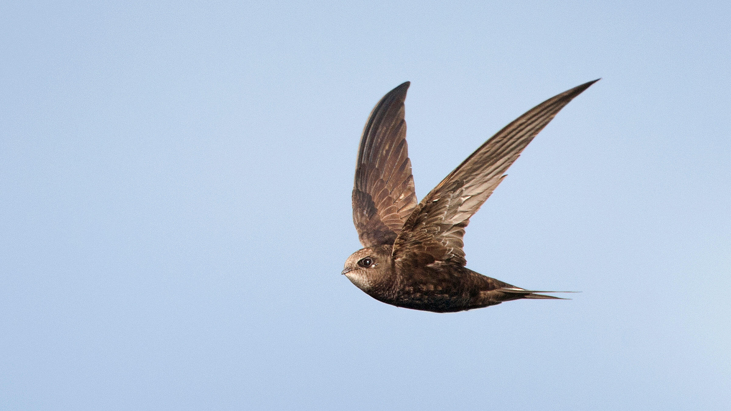 the common swift is