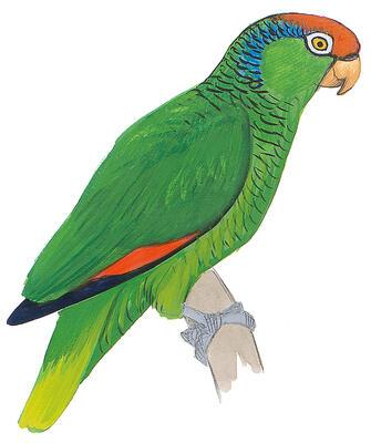 jailbird parrots return to