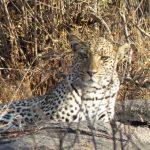 Löwe in Tansania, Afrika