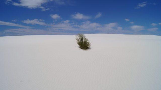 in den White Sands schaut eine kleine Yucca heraus