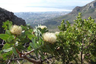 Tafelberg_Protea