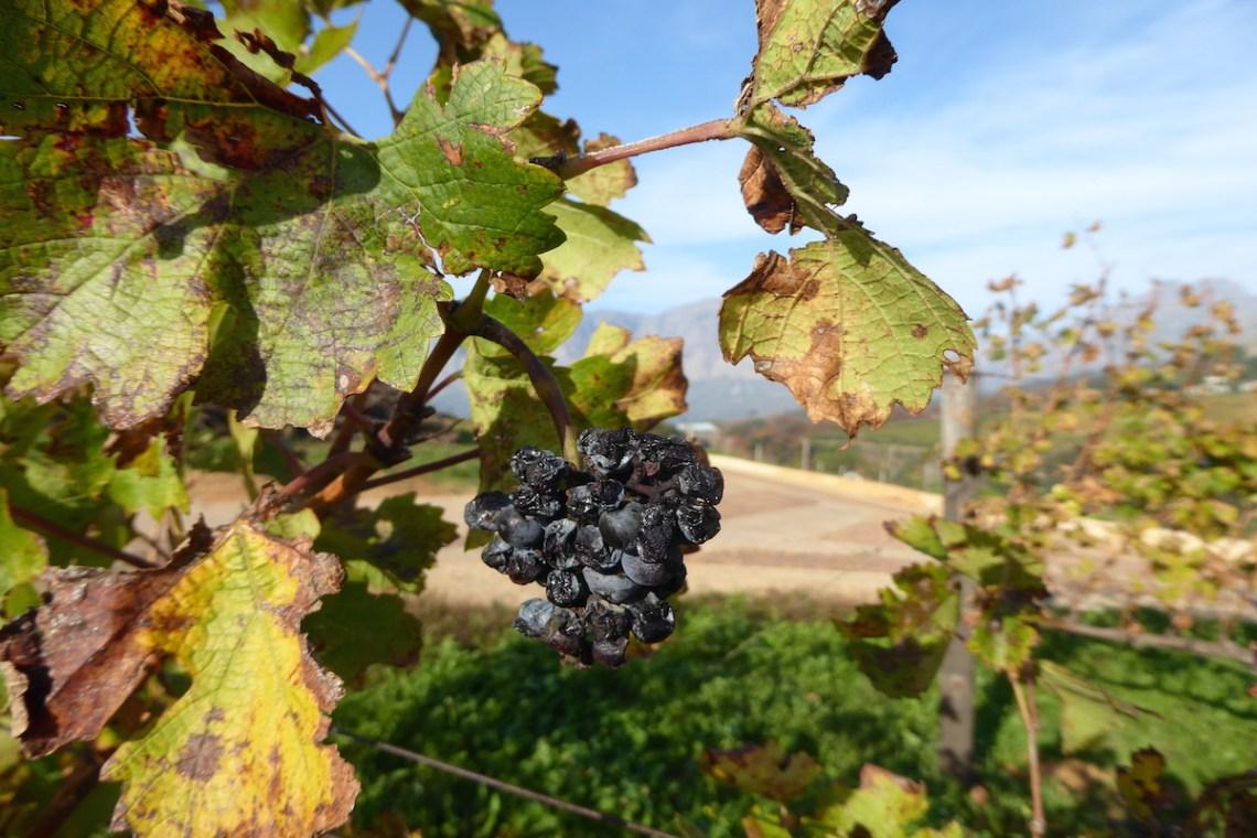 Winelands Traube | aufmerksam reisen