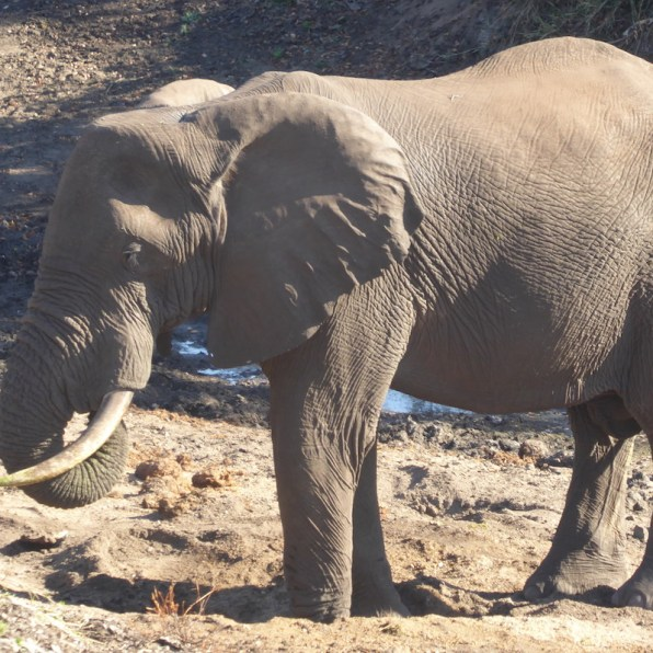 krueger_elefant