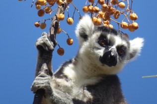 Madagaskar_Lemur