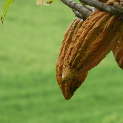 Bali-Kakao