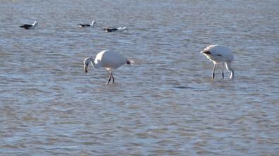 Chile-SalardeAtacama-Flamingos