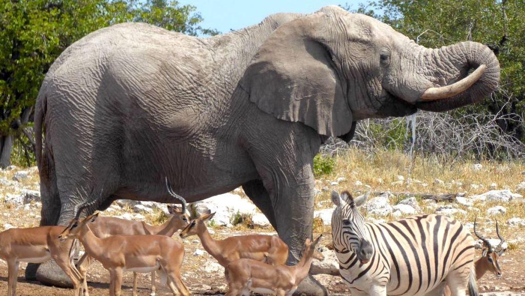 Elefant, Zebra und Springböcke an einem Wasserloch in Namibia
