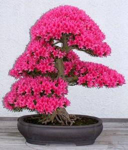 azalija-bonsas