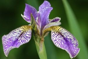 Sibirinis vilkdalgis (Iris sibirica)