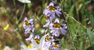 Skeltažiedis plunksnotasis (Schizanthus pinnalus)