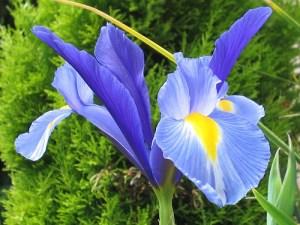 Vilkdalgis (Iris)