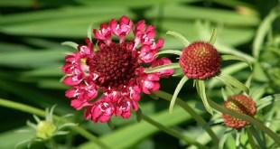 Žvaigždūnė raudonoji (Scabiosa atropurpurea)