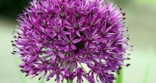 Didysis česnakas (Allium giganteum)