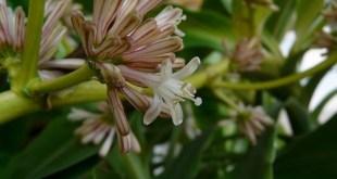 Dracena kvapioji (dracaena fragrans)