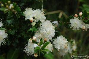 Mirta (Myrtus communis)