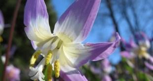Sibirinis eritronis (Erythronium sibiricum)