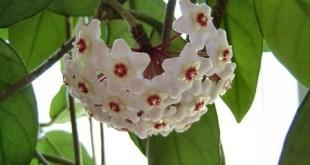 Vaškuolė storalapė (Hoya carnosa)