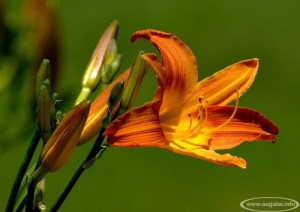 Viendienė (Hemerocallis)