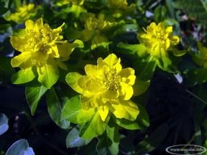 Spalvotoji karpažolė (Euphorbia polychroma)
