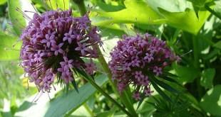 Svyrančioji krūnelė (Phuopsis stylosa)