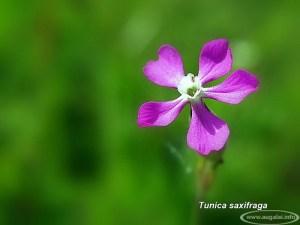Uolinė moražolė (Tunica saxifraga)