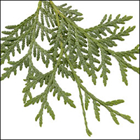 Eastern Cedar Leaf