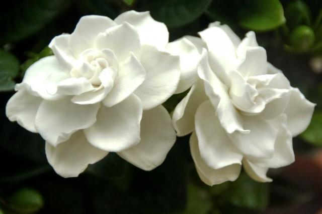 Gardenia (Image source- Lovetoknow)
