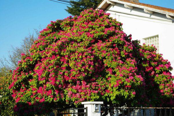 Arbre A Fleur arbre a fleur blanche la pilounette arbre fleur rose plante verte a fleur rose