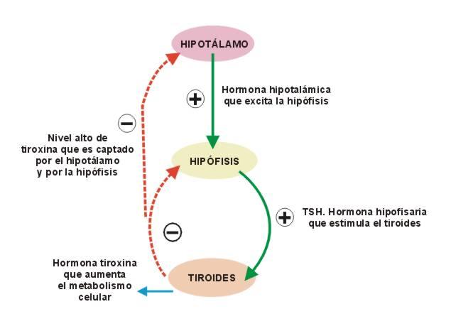 EJE HIPOTALAMO HIPOFISARIO TIROIDEO PDF