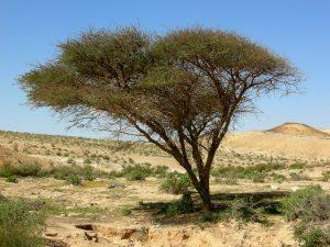 Acacia au Néguev