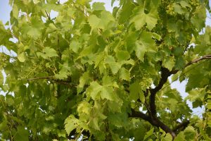 Désert 31 – Comme des raisins au désert (Os 9)