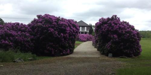 10 Amazing Hydrangeas