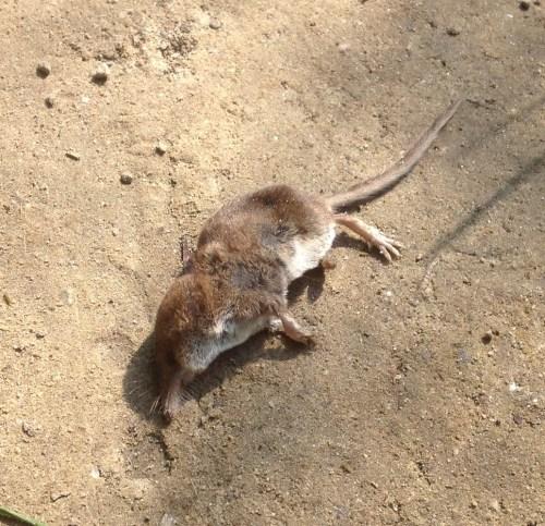 Dead shrew
