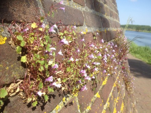 Flowers in wall at Reuver