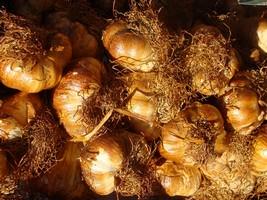 Ail d'Arleux légumes au pays des ch'tis