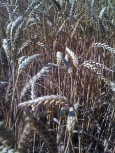 Champ de blé (3)