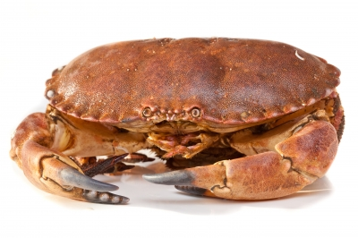 Live Brown Crab