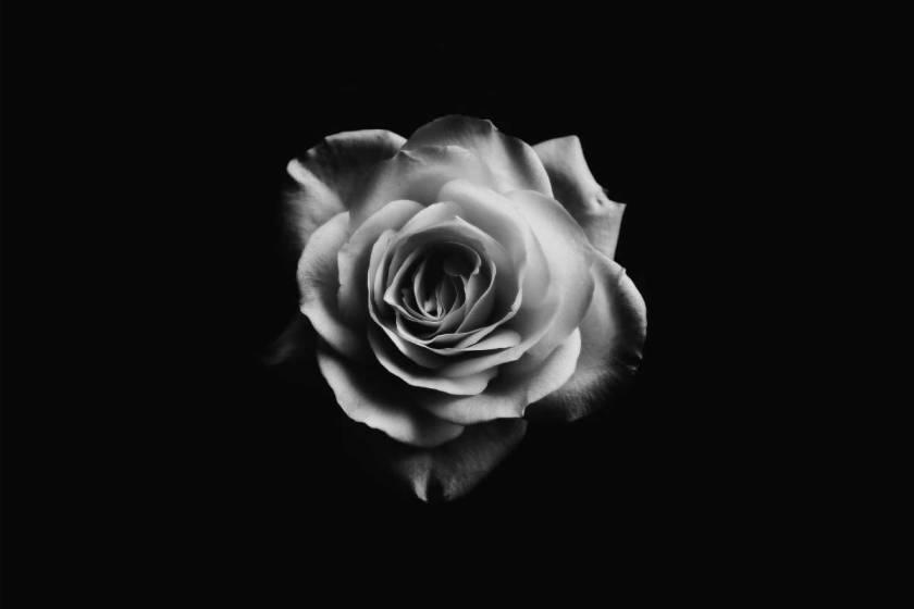 Rosenblüte schwarz weiß auf schwarzem Hintergrund
