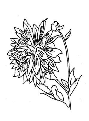 Ausmalbilder Dahlie 1  Blumen Malvorlagen ausmalen
