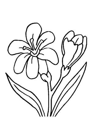 Ausmalbilder Freesien  Blumen Malvorlagen ausmalen